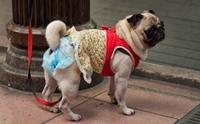 สงสัยไหม น้องหมาก็ต้องใส่แพมเพิร์สได้ด้วยเหรอ?