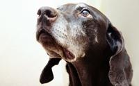 เจ้าของต้องรู้!!! 7 โรคร้ายที่พบได้บ่อยในสุนัขแก่