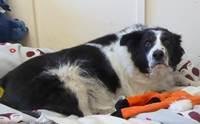 เจ้า Bopper สุนัขที่ต้องลดน้ำหนักเพราะอ้วนจนอยู่ในกรงไม่ได้ !
