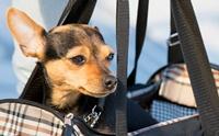 มาดูวิธีเคลื่อนย้ายสุนัขบาดเจ็บที่กระดูกสันหลังอย่างปลอดภัย ไม่เสี่ยงอันตราย!