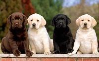ผลวิจัยชี้...สุนัขขนสีไหนอายุสั้นที่สุด
