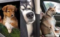 รวมภาพสุดน่ารัก ... น้องหมากับที่ประจำบนรถ พร้อมออกเที่ยว!