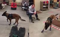 แห่แชร์คลิปน่ารัก! สุนัขตำรวจมาดหลุด หลังได้ลองใส่รองเท้าคู่ใหม่