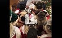 กองทัพปั๊กกับชุดซานตาครอส น่ารักอะไรขนาดนี้!