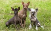 3 สายพันธุ์น้องหมาไร้ขน! ที่ใครหลายคนต่างตกหลุมรัก