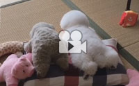 เกือบแยกไม่ออกแล้วว่าตัวไหนตุ๊กตา ตัวไหนน้องหมา