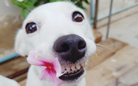 สงสัยจัง การขูดหินปูนในสุนัขทำไมต้องวางยาสลบ ?