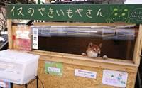 พ่อค้าน่ารัก! ชิบะแสนรู้เฝ้าร้านขายมันหวานอบที่ญี่ปุ่น