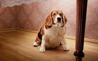 เลี้ยงสุนัขแบบไหน เสี่ยงเป็นโรคข้อเสื่อมไวมากกว่า