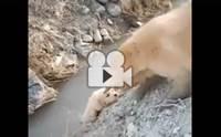 น่ารัก! คลิปแม่หมาไม่ยอมปล่อยลูกตกน้ำ