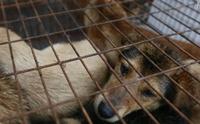 เทศกาลกินเนื้อหมาแห่งเมืองหยู่หลิน งานที่คนทั้งโลกต่อต้าน