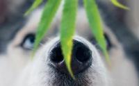 ดูแลสุนัขอย่างไร ให้ปลอดภัยจากพิษของกัญชา