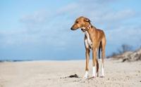 รู้จัก อาซาวัค (Azawakh) สุนัขพันธุ์ล่าสุดที่ได้รับการบรรจุชื่อใน AKC