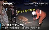 เจ้าของจูงหมาโกลเด้นฯ อยู่ดีๆ หยุดเดิน ที่แท้ได้กลิ่นเพื่อนตูบติดอยู่ในท่อ!