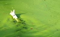 พิษจากสาหร่ายสีเขียวแกมน้ำเงิน (อาจ) ทำสุนัขถึงตายได้?