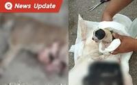 แม่หมาท้องแก่โดนรถชน สาวใจดีตัดสินใจช่วยลูกหมารอด 1 ชีวิต