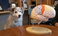 ผลวิจัยชี้! การคัดเลือกพันธุ์มีผลต่อกายวิภาคสมองของสุนัข
