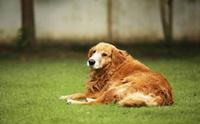 จริงหรือที่ว่า ... การทำหมันสุนัขพันธุ์ใหญ่เสี่ยงป่วยโรคอ้วนและโรคกระดูก