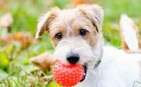 4 Tip เลือกของเล่นอย่างไรให้ปลอดภัยต่อลูกสุนัข !