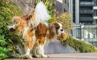 สุนัขฉี่เป็นเลือด (ฉี่ปนเลือด) เสี่ยงป่วยโรคร้ายอะไรได้บ้าง