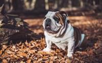 เลี้ยงหมาพันธุ์หน้าย่น กับปัญหาเรื่องกลิ่นที่ต้องดูแลเป็นพิเศษ !