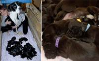 ครอกใหญ่ที่สุดในโลก! แม่หมาคลอดลูก 21 ตัว แต่ละตัวน่ารักน่าเอ็นดู