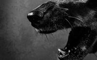 โรคมะเร็งติดต่อทางระบบสืบพันธุ์ เซลล์ร้ายคร่าสุนัขมานานนับหมื่นปี