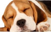 การวางยาสลบสุนัข