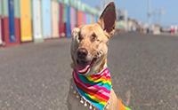 พิการตัวแต่ไม่พิการใจ จากน้องหมาพิการแสนเศร้าสู่การเป็นน้องหมาบำบัดแสนสุข