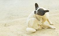 การตรวจโรคภูมิแพ้ผิวหนังในสุนัขอย่างง่าย