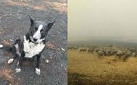 เจ้า Patsy สุนัขที่ต้อนแกะทั้งฝูงให้รอดตายจากไฟป่าออสเตรเลีย !