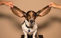 ไขข้อสงสัย! ทำไมถึงต้องถอนขนในหูให้น้องหมา