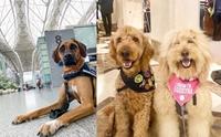 พวกหนูมาทำงาน! สุนัขบำบัดบุกสนามบิน ช่วยคลายเครียดให้ผู้โดยสาร