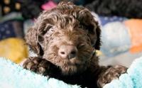 บาร์เบต (Barbet) สุนัขพันธุ์ล่าสุดที่ได้รับการบรรจุใน AKC ปี 2020