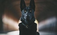 จัดอันดับ 5 สายพันธุ์น้องหมาสีดำที่คนนิยมเลี้ยงมากที่สุด