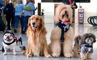 สนามบินมะกันนำ 22 น้องหมา 1 เจ้าหมูมาช่วยลดเครียดผู้โดยสาร!