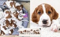 อังกฤษเฮ! น้องหมาพันธุ์เสี่ยงใกล้สูญพันธุ์ คลอดลูกกว่า 10 ตัว