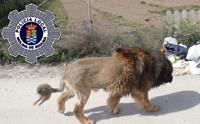 สเปนผวา! พบสัตว์คล้ายสิงโตเดินไปทั่วเมือง สุดท้ายเป็นแบบนี้