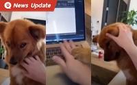 คลิปน่ารัก เมื่อเจ้านาย Work from Home แต่น้องหมาไม่ยอมให้ทำงาน!
