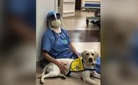 เห็นแล้วยิ้ม! สุนัขบำบัดช่วยลดเครียดให้คุณหมอสู้วิกฤติโควิด-19