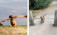 เล็กๆไม่ ใหญ่ๆชอบ! เจ้า Bosco น้องหมาขาสั้นที่เห็นกิ่งไม้เป็นไม่ได้ (คลิป)