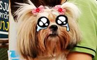 น้องหมาน้ำตาไหลผิดปกติ ... เกิดจากอะไร? (1)