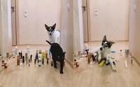ชาเลนจ์สุดขำ! เมื่อหมาแมวเจอสิ่งกีดขวาง พวกเค้าทำแบบนี้