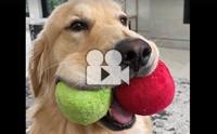 เมื่อโกลเด้นชอบคาบของเล่น ก็จะน่ารักแบบนี้!