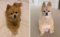 20 ภาพชวนขำ เมื่อน้องหมาถูกเจ้าของตัดขนให้ในช่วงกักตัว!