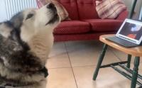 น่ารักละลายใจ! เมื่อ 2 น้องหมาคู่ซี้วิดีโอคอลคุยกันช่วงถูกกักตัว