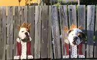 2 บูลด็อกชอบดูผู้คนผ่านประตูรั้ว เจ้าของปิ๊งไอเดียทำแบบนี้!