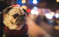 5 ปัญหาสุขภาพตาที่พบบ่อยในน้องหมาพันธุ์หน้าสั้น