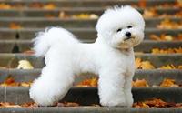 จัดอันดับ 5 สายพันธุ์น้องหมาขนหยิก น่ารักน่ากอด!