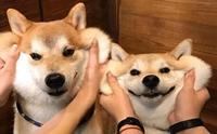 6 สายพันธุ์น้องหมาที่ได้ขึ้นทะเบียนเป็นสัตว์สงวนของญี่ปุ่น